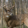 Stock Photo: Whitetail Buck