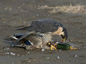 Peregrin Falcon with a Mallard — Stock Photo