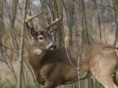 Whitetail Buck — Stock Photo