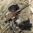 Stock Photo: Hunting Dog with Pheasant