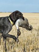 Cane da caccia con anatra — Foto Stock