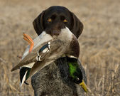 Hunting Dog with a Duck — Stock Photo