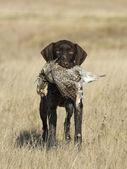 Hunters Dog — Stock Photo