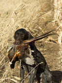 Hunting Dog with a Pheasant — Stock Photo