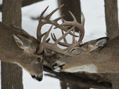 Whitetail Bucks — Stock Photo