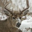 Whitetail Deer Buck — Stock Photo #37670095