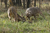 Two Mature Whtietail Bucks Fighting — Stock Photo