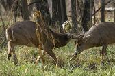 Two Mature Whtietail Bucks Fighting — Stock Photo
