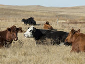 Beef Cattle — Stock Photo