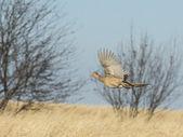 Hen Pheasant — Stock Photo