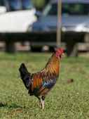 Rooster in Kauai Hawaii — Stock Photo