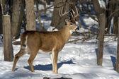 Mature Whitetail Buck — Stock Photo