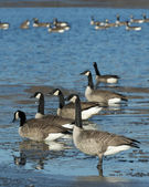 Flock of Canada Geese — 图库照片