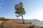 Pine-tree on the shore — Stock Photo