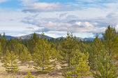 新的松树 — 图库照片