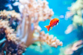 Goldenfish — Stockfoto