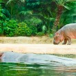 Hippopotamus mother and a baby — Stock Photo