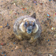 Portrait of a marmot — Stock Photo