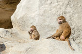 Monkeys on rock — Foto Stock
