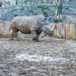 Rhino at Zoo — Stock Photo
