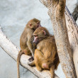 Monkeys on tree — Stock Photo