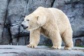 Urso branco — Fotografia Stock