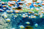 Moving piranhas — Stock Photo