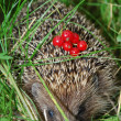 Hedgehog in the woods — Stock Photo