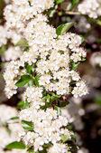 Cherry blossoms, sakura — Stock Photo