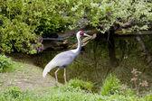 Cranes at Prague Zoo — Stock Photo