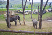 Elephants in the Prague zoo — Stock Photo