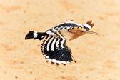 Удод - фауна ОАЭ — Stock Photo