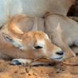 Stock Photo: Baby Oryx
