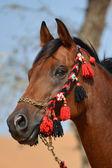 The beauty of the Arabian horse! — Stock Photo