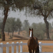 Stock Photo: Arabihorse in paddock