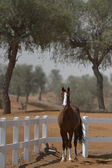 Arabian horse in the paddock — Stock Photo