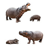 Family hippos with babes — Stock Photo