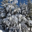 Spruces covered in heavy snow on beautiful sunny day, blue sky b — Stock Photo