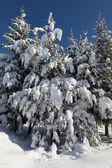 Sapins recouverts de neige lourde sur belle journée ensoleillée, ciel bleu b — Photo