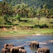Elephants Bathing in River, Sri Lanka - Stock Photo