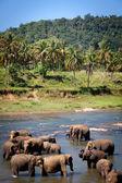 Elephants Bathing in River, Sri Lanka — Stock Photo