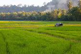 Young and Ripening rice in a rice field — Stock Photo