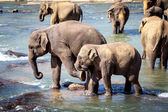 Older Elephant Kicking Young Elephant While Bathing in River — Stock Photo