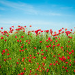 Poppies Field and blue sky — Stock Photo