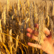 Girls hand holding ear of wheat - abstract — Stock Photo