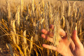 Girls hand holding ear of wheat - abstract — Stock fotografie
