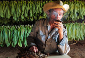 Tobacco farmer in his drying shed with fresh tobacco leaves in b — Stock Photo