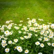 Daisies on mown lawn — Stock Photo #27227941