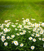 Daisies on mown lawn — Stock Photo