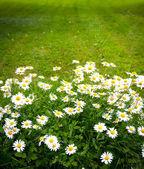 Daisies on mown lawn — Stock Photo